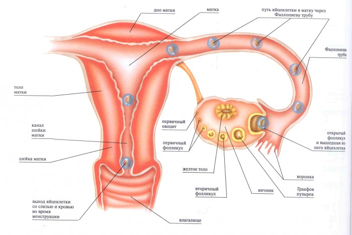 Возможна ли беременность при месячных и первом сексе