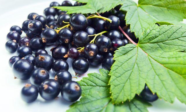 В черной смородине полезны не только ягоды, но и листья