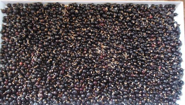 Ягоды черной смородины готовы к сушке на солнце