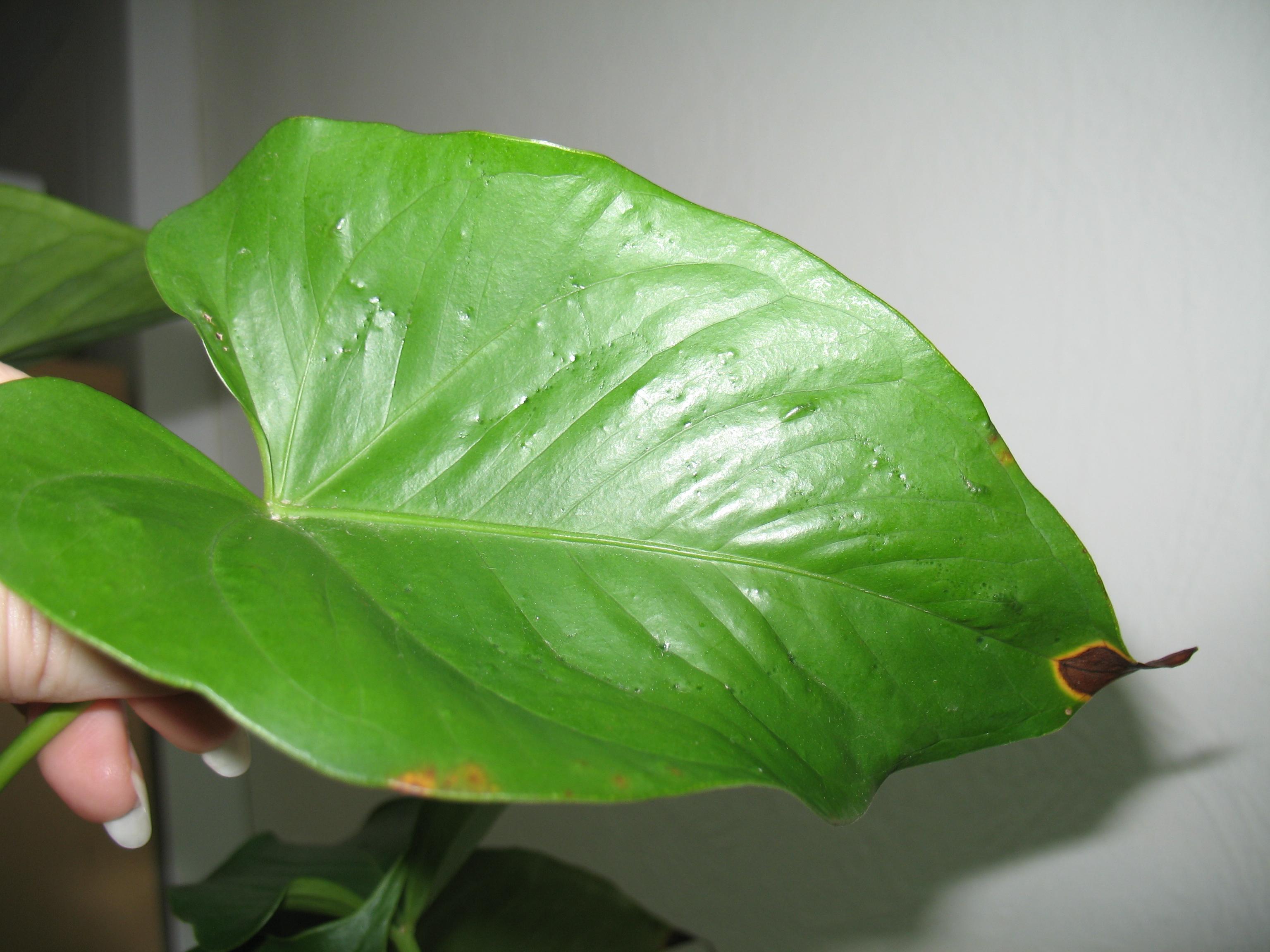 Почему у цветов чернеют кончики листьев фото