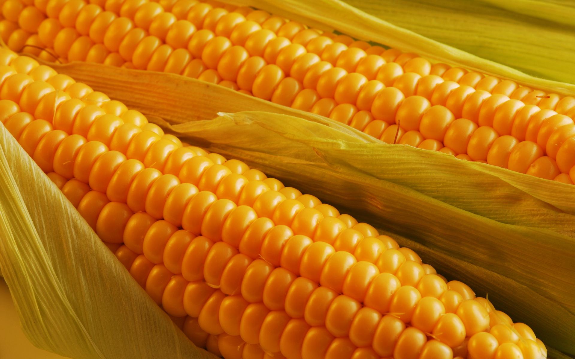 как сварить кукурузу в кочанах на рыбалку