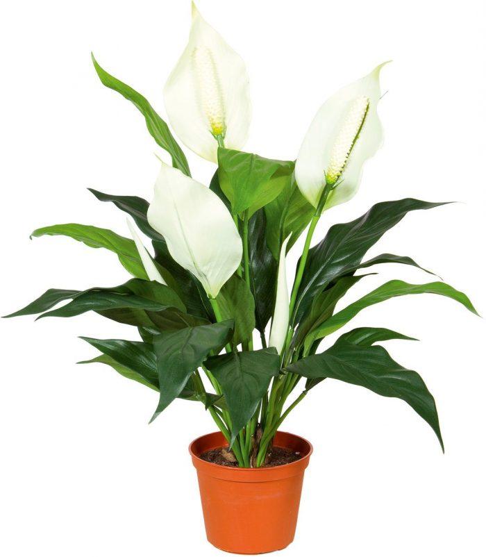 Спатифиллум зацвел одним цветком примета