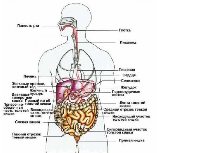 Внутренние органы человека: схема расположения, фото строения с.