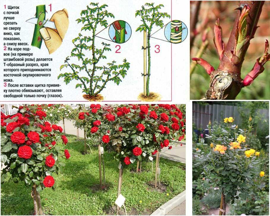 Выращивание шиповника на розы 723