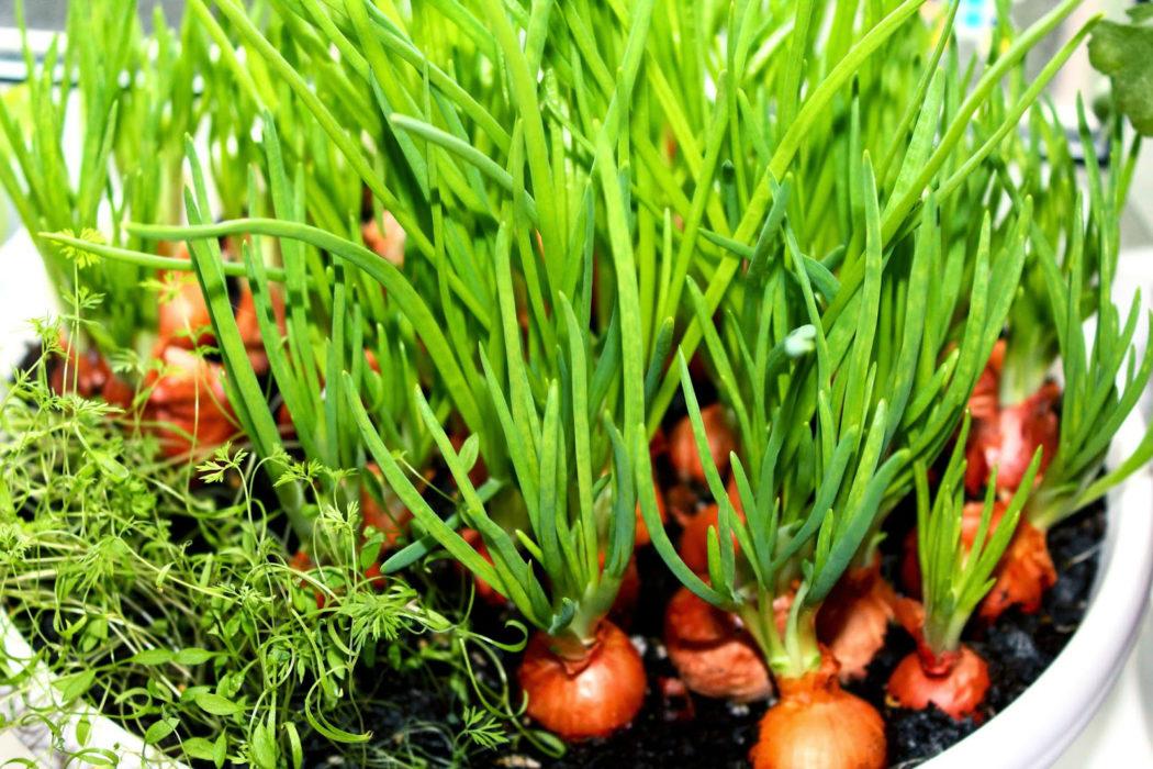 Выращивание лука из головок 153
