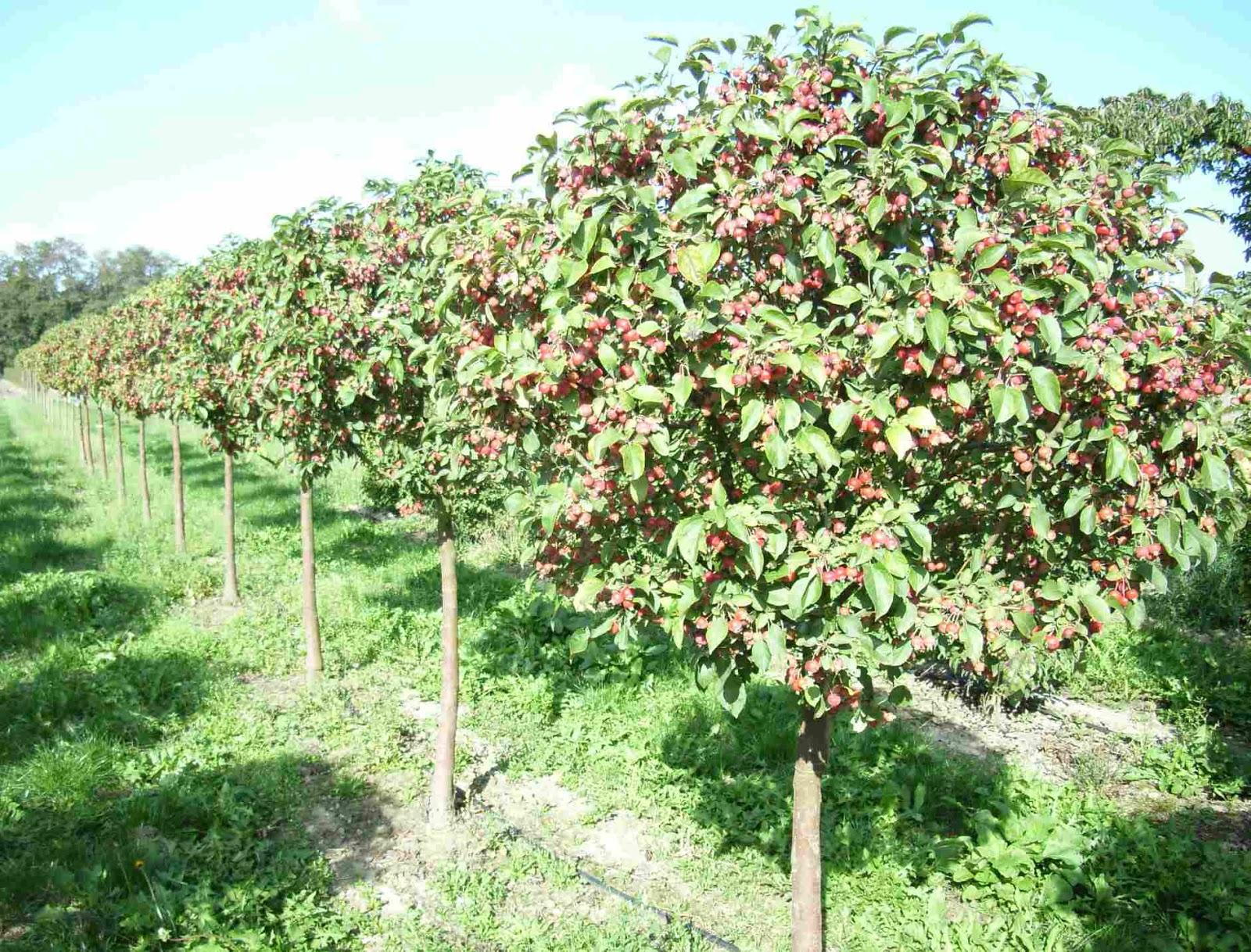 Как сделать яблоню штамбовой