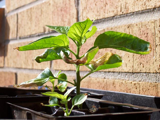 Агрономы считают, что у рассады перца вянуть листья могут из-за физического старения культуры