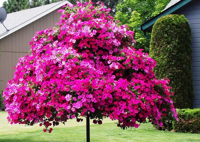 Однолетние цветущие цветы для дачи: фото и названия красивых 58