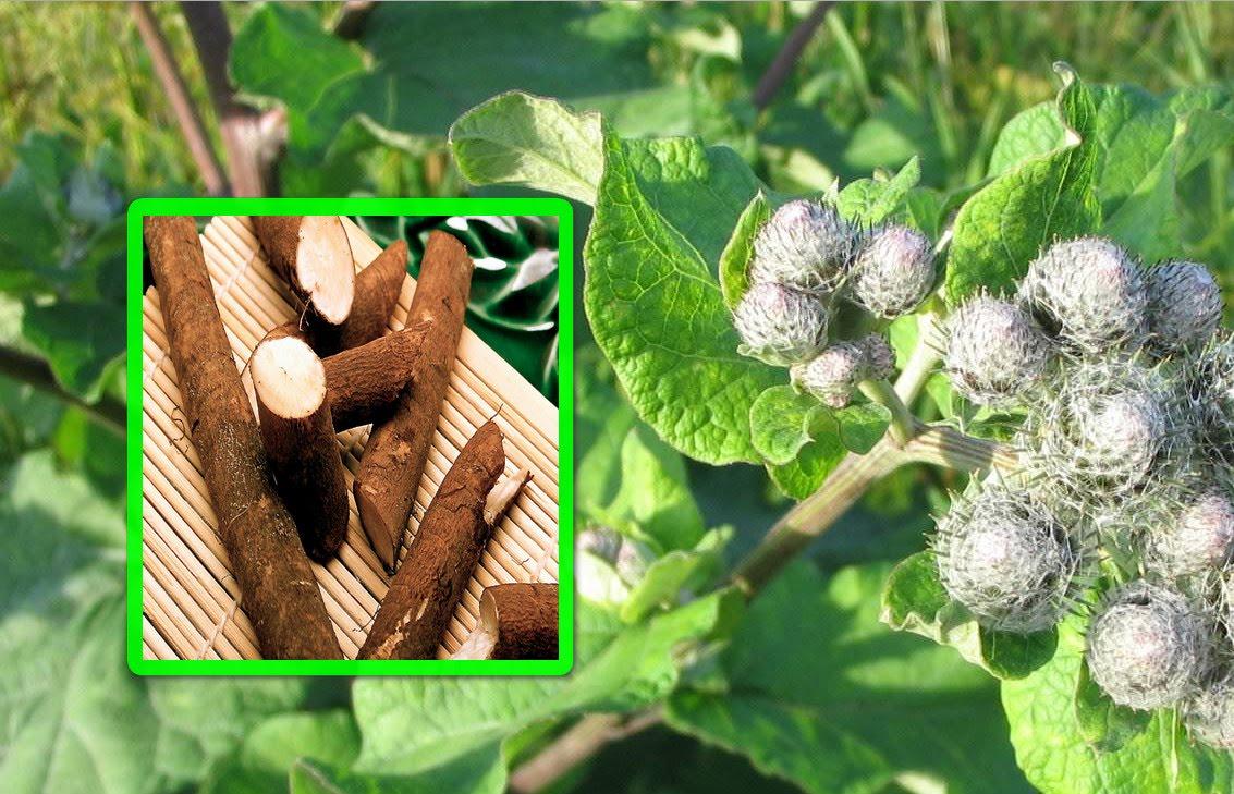 Листья лопуха полезные свойства