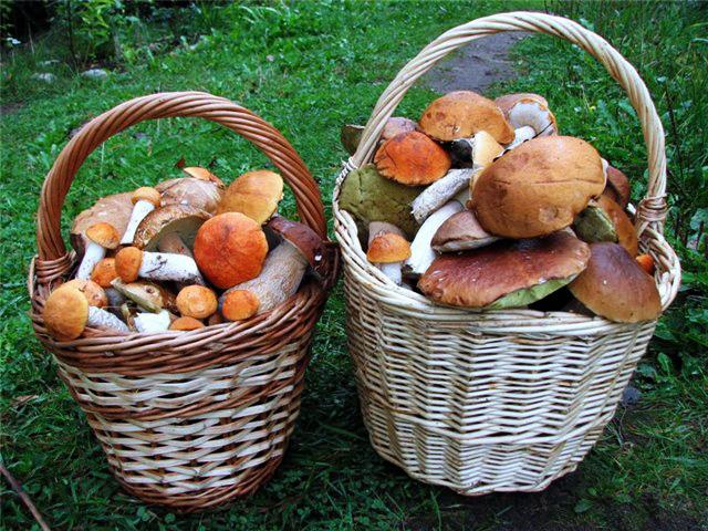 съедобные грибы осенью фото