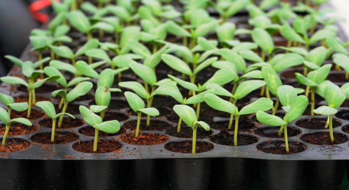 Выращивание рассады — одна из самых прибыльных бизнес-идей для весны