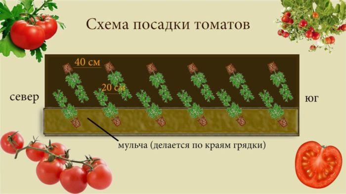 Схема посадки томата в теплице