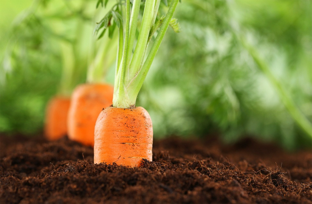 Выращивание моркови на продажу 11