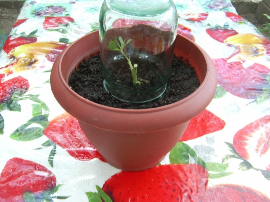 Грунт для выращивания роз из черенков 14