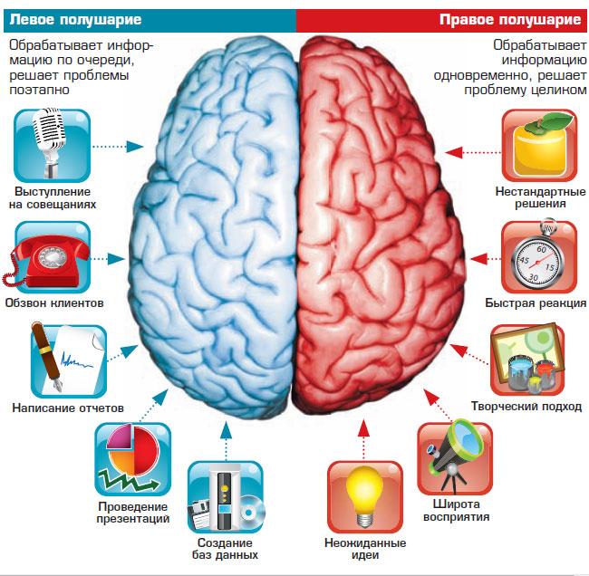За что отвечают полушарии мозга и как их развить