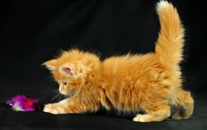 Рыжая кошка в доме - кусочек солнышка, согревающий своих хозяев