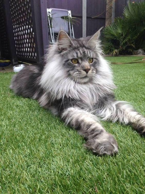 Ласковая кличка котенка породы мейн-кун со временем станет неуместной