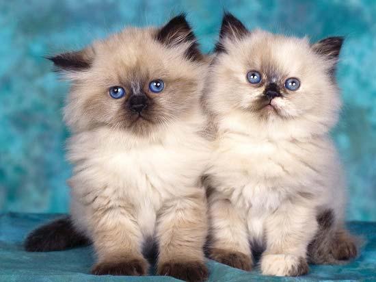 Как назвать персидского котенка девочку