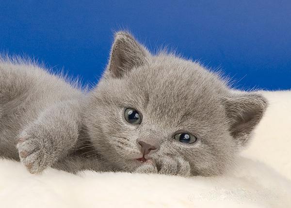 Желательно, чтобы кличка котенка состояла из 2 или 3 слогов