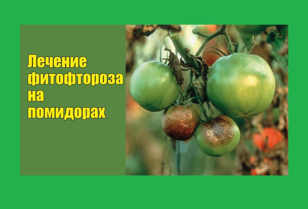Обработка помидоров йодом как средство борьбы с фитофторой новые фото